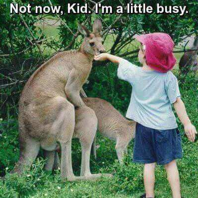 Photo of little boy trying to feed male kangaroo while he is mounting a female. Caprion: