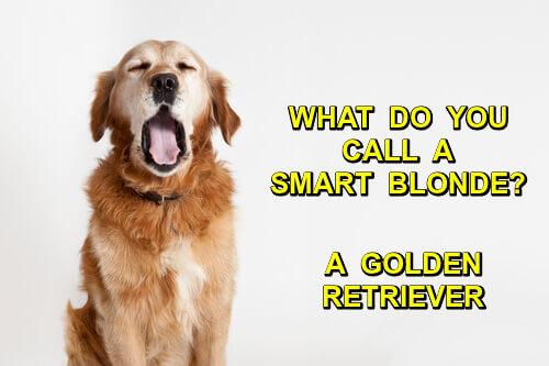 Photo of a golden retriever, caption: what do you call a smart blonde? A golden retriever.