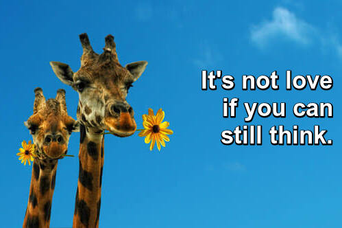 Photo: two giraffes with a yellow daisy in each mouth against a clear blue sky. Caption: It's not love if you can still think.